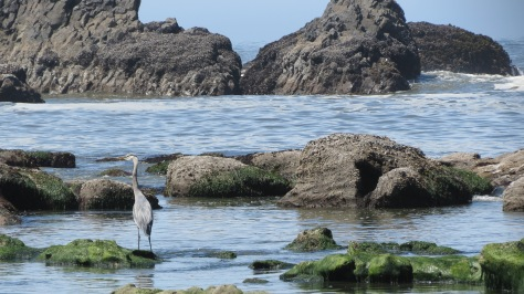 great blue heron tidepooling