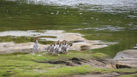 common merganser female with chicks