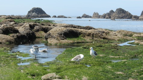 Seagulls bathing at Seal Rock, Oregon