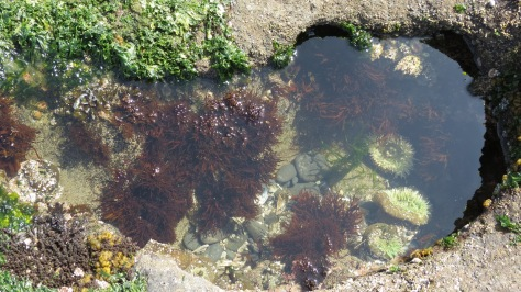 Giant Green Anemone among various seaweeds (sea lettuce, black pine, etc)