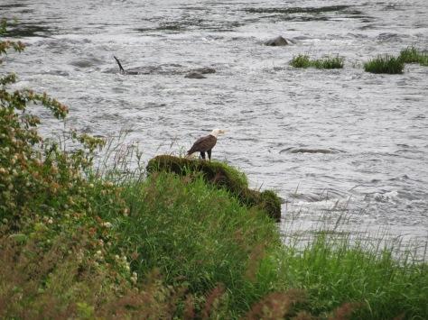 Adult Eagle on Alsea River