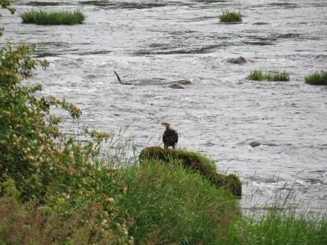 4-5 year-old Bald Eagle