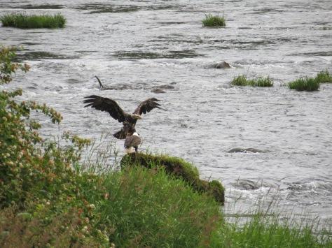 Juvenile Eagle Joins Parent