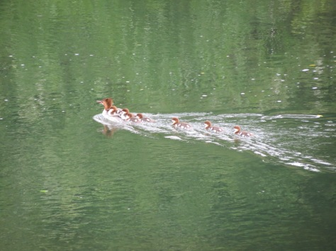mama merganser with 7 ducklings