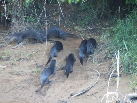 7-otter family